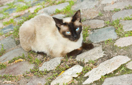 cobblestone street: Siamese Cat