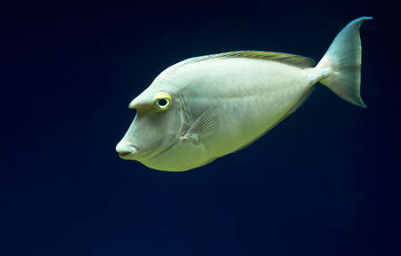 surgeonfish (Acanthurus)  photo