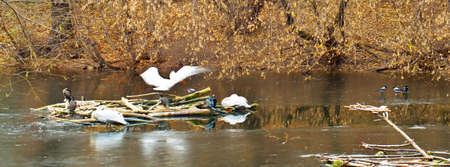 pelicans, ducks and crows at winter photo