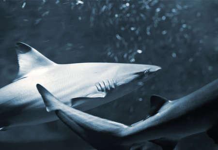 reef (hound) sharks Stock Photo - 17308156