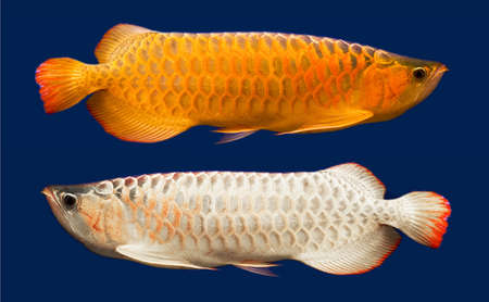 Gold and White Arowana (Scleropages Formosus) Stock Photo - 17348874