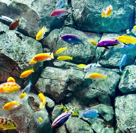 cichlids: fish shoal near rock Stock Photo