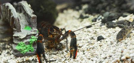 the australian blue craw-fish Stock Photo - 17691288