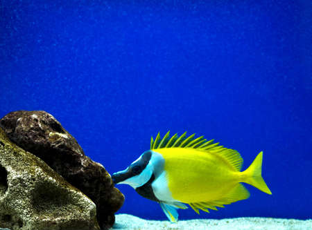 surgeon-fish, stone sea bottom Stock Photo - 17691313