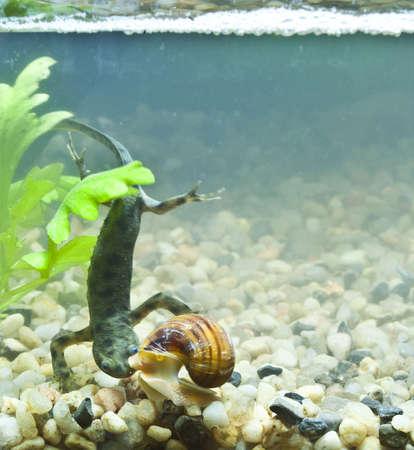 tank fish: triton and snail