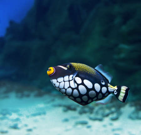 clown triggerfish: Trigger-fish  Crossbow-clown, Balistoides Conspicillum   Stock Photo
