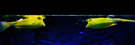 boxfish: boxfishes  Ostracion