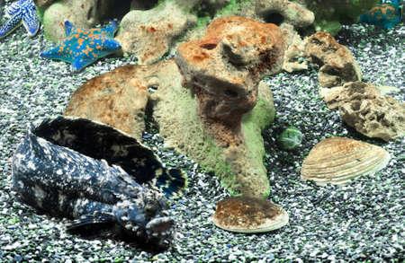 blenny: sea bottom life