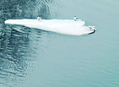 wintering: seagulls on drifting ice floe Stock Photo
