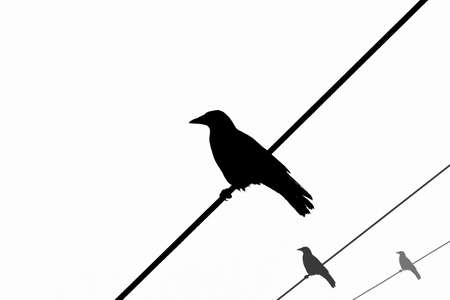crows on wires, silhouette photo