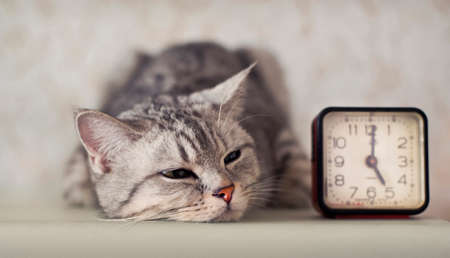 somnolence: cat with clock Stock Photo