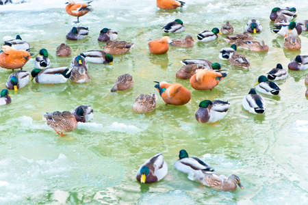 wintering: wintering ducks Stock Photo