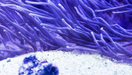 actinia:  sea anemone (actinia)