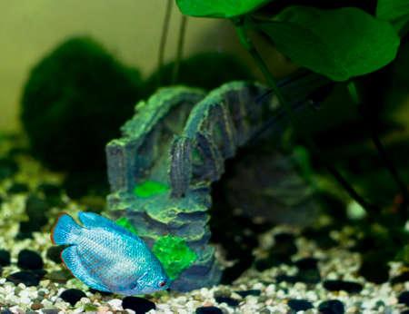 gourami: aquarium fish Dwarf gourami