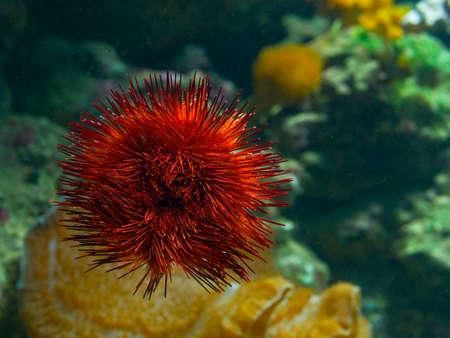 urchin: the red sea urchin