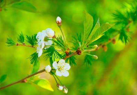 arbol de cerezo: vegetaci�n fresca