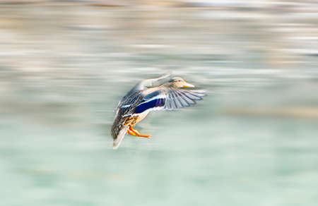 flying duck blur motion photo