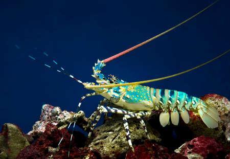 palinuridae: sea crawfish (Palinurus) Stock Photo