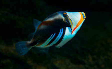 clown triggerfish: the Trigger-fish Stock Photo