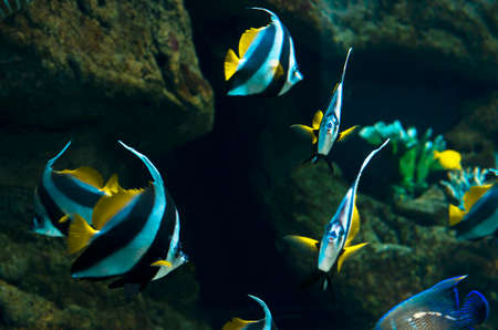 chaetodontidae: butterfly fish (Heniochus intermedius, Chaetodontidae) Stock Photo