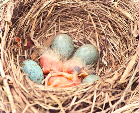 robins: hatching robins Stock Photo