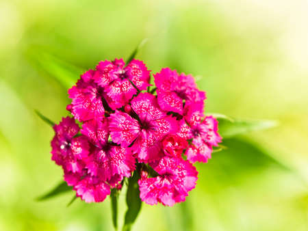 pinks: macro of the Carnation (Pinks) Stock Photo