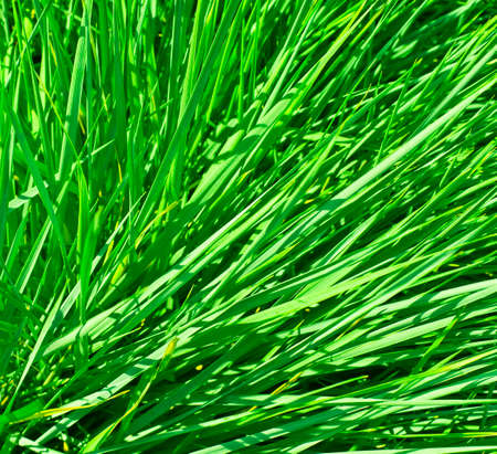 carex: grass closeup