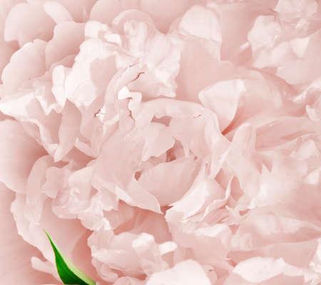the rose; closeup