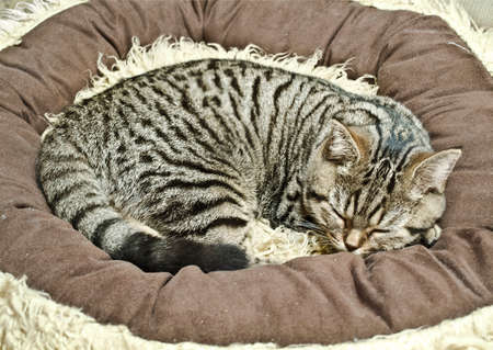 somnolence: sleeping british cat Stock Photo