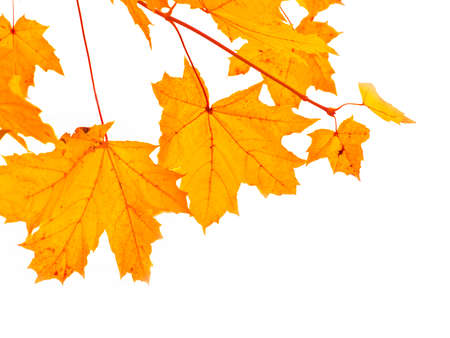 acer: autumnal maple branch Stock Photo
