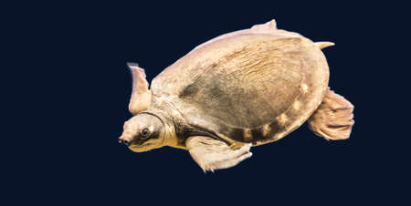 freshwater turtle: australian Pig-nosed turtle, also the pitted-shelled turtle (Carettochelys insculpta)