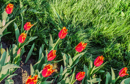 dichromatic: Tulips bicolor (Tulipa fringed) Stock Photo