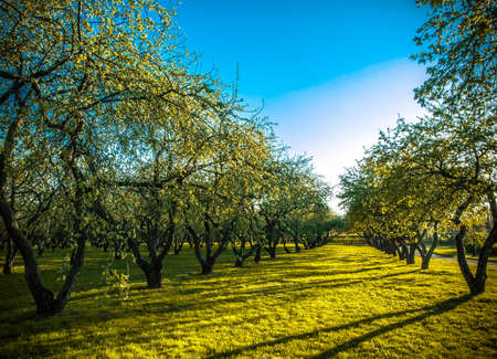apple green: apple trees plantation