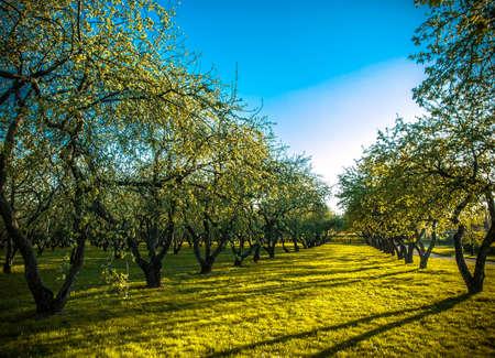 sembrando un arbol: manzana �rboles de plantaci�n Foto de archivo