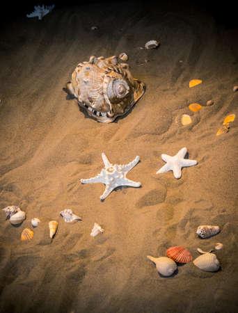 cushion sea star: sea stilllife