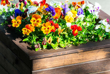 assortment: pansy (Viola tricolor) in flowerbed Stock Photo