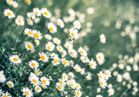 dof: daisy field