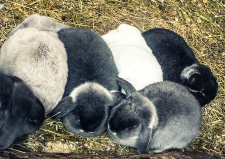 lop eared: lop-eared rabbits