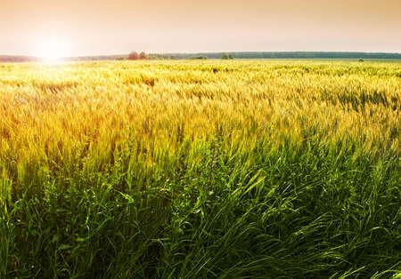 llanura: Centeno campo