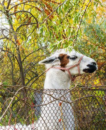 zoologico: lama granja Foto de archivo
