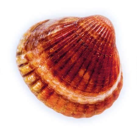 ostracean: seashell isolated Stock Photo