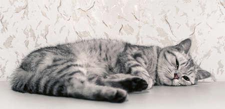 drowse: british cat