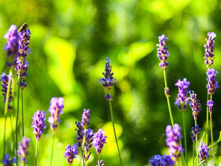 florescence: lavender, macro Stock Photo