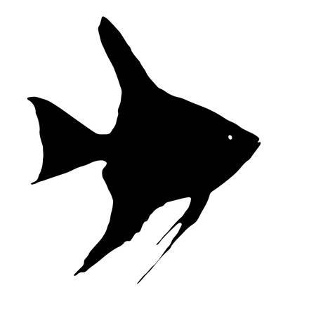 pterophyllum scalare: Scalare (Angelfish, Pterophyllum)