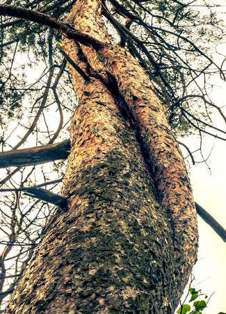 contorted: pine Stock Photo