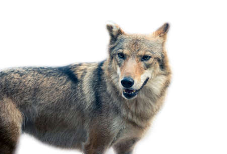 isolated on gray: the Grey Wolf (Canis lupus)