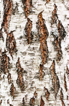bole: birch bark; closeup