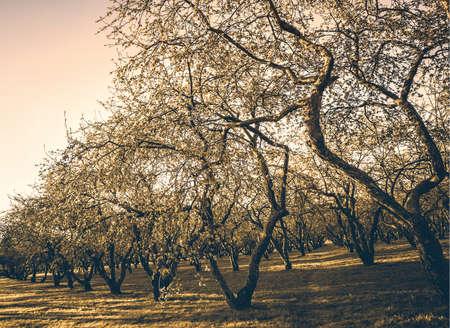 sembrando un arbol: apple trees Foto de archivo