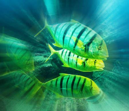 school fish: Caranx fish school