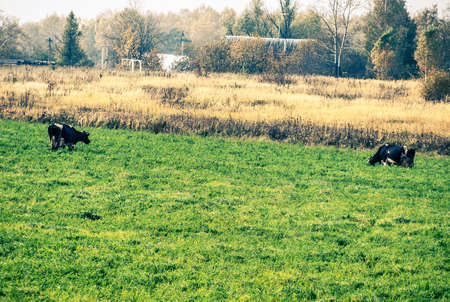 grazing cows: grazing cows